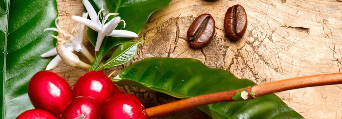 La planta del café